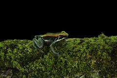 Golfo Dulce Poison Frog (Christian Sanchez Photography) Tags: macrophotography macro mammal macrofrog mammals macrosnake monkey floridabirds frogwater frog amphibian snakeamphibianfrog froganimal costarica costaricabirds costraicaanimal colorsbirds costaricabird colibri costaricaanimal naturaleza costaricafrog costaricaamphibian