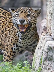 Female jaguar displaying flehmen (Tambako the Jaguar) Tags: portrait standing grimace flehmen openmouth teeth funny rocks female jaguar onca big wild cat jacksonvillezoo jacksonville zoo florida unitedstates america usa nikon d5