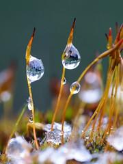 Moos-Snow_3 (denzthomas) Tags: moos snow frost droplet tropfen wassertropfen macro