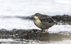 Dipper Juv Explored 23rd April 2017 (mistagain1 Thanks for the comments and Faves) Tags: dipper family devon somerset river barle riverbarle exmoor fledgling gb uk england thesouthwest southwestengland bird britishbird birdofbritain water © april 2017 spring