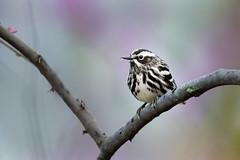 Black & White Warbler (PhillymanPete) Tags: bird spring songbird beauty wildlife warbler blackandwhitewarbler nature hopewelltownship newjersey unitedstates us nikon d800e