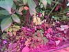 all for the pink (meeeeeeeeeel) Tags: natureza nature flashon iphone iphoneography jardim garden leaf leaves leafs folhagem foliage folhas plants plantas verde green surreal crazy colors colorful cores colorido corderosa rosa pink
