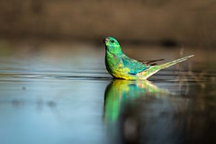 Red-rumped Parrot (Andrew Alderson) Tags: red rumped parrot water drink life waterhole
