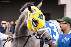Game Face (Casey Laughter) Tags: racehorse turfway thoroughbred horse horseracing horses winner loser fun racing racetrack race track saddlecloth tack gate taa