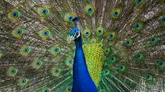Peacock (1 of 1) (oskarspavasars) Tags: peacock nature pattern detail sharp a6000 sony victoria explorebc bc