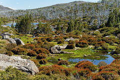 20170301-32-Light alpine scrub (Roger T Wong) Tags: australia greatpinetier np nationalpark sel70300g sony70300 sonya7ii sonyalpha7ii sonyfe70300mmf2556goss sonyilce7m2 tasmania wha wallsofjerusalem worldheritagearea bushwalk camp hike marsh pencilpines scoparia trektramp walk