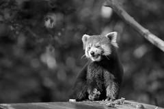 ça croque sous la dent (rondoudou87) Tags: pentax k1 parc zoo reynou nature natur monochrome noiretblanc noir bokeh blanc black blackwhite wildlife wild white smcpda300mmf40edifsdm