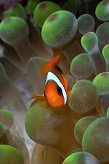 Nemo.... (hendradive) Tags: nemo fish underwater earthnaturelife nature scuba diving animal sea holiday