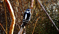 Downy woodpecker. (Dan A. Cetinic.) Tags: sony birds
