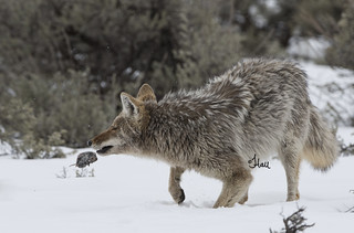 The Vole Flip - This coyote dug the vole out and flipped it onto the snow - 4526b+