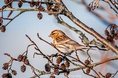 Redpoll (carduelis flammea) (phat5toe) Tags: redpoll birds avian feathers wildlife nature wigan flashes greenheart nikon d300 tamron150600mm