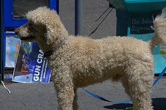 Hair Styles (swong95765) Tags: dog canine animal hairy cute poodle