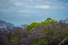Jacaranda Trees (Madeira Island) Tags: jacaranda funchal colors purple tree madeira madeiraisland madeiradonamaro madeiraful donamaro