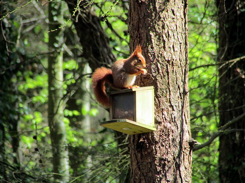Red Squirrel near Dulas