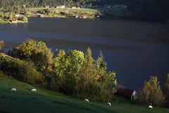 Hausten – 2016 (dese) Tags: dalsfjorden fjorden fjord fjordane sunnfjord sognogfjordane sauer naust haust oktober october11 2016 october autumn noreg vestlandet fjaler norway light sheep norskkvitsau 5