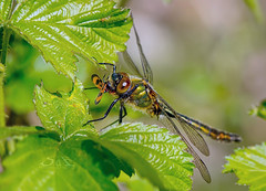 Dragonfly having dinner (Supervliegzus) Tags: dragonfly having dinner nature spring macro nikon d7100 outdoor insect smaragdlibel corduliaaenea downy emerald