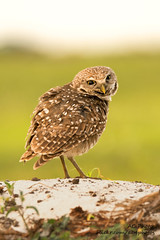 The Look Of Innocence (ac4photos.) Tags: owl burrowingowl bird nature wildlife animal florida naturephotography wildlifephotography birdphotography owlphotography animalphotography nikon d500 tamron150600mm ac4photos ac
