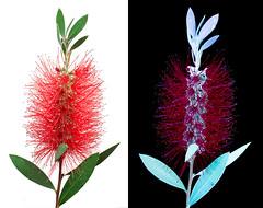 Bottlebrush Comparison (C. Burrows) Tags: uvivf glowing nature flower botany