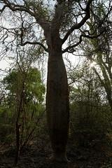 DSC07464_DxO kein Baobab_Bildgröße ändern (Jan Dunzweiler) Tags: madagaskar africanbikers reniale renialareserve jandunzweiler