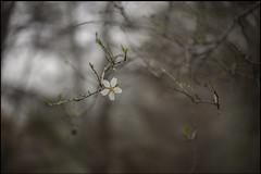 Era ese instante tan claro (jotaaguilera) Tags: nikon nikkor d610 50mmf14g bokeh dof luz flower flor sakura spring primavera light blur blurry