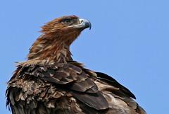 Tawny Eagle (Aquila rapax) (berniedup) Tags: crocodilebridge kruger tawnyeagle taxonomy:binomial=aquilarapax eagle aquilarapax bird