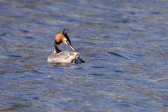 Great crested grebe (Podiceps cristatus) (machyjakub) Tags: bird slatina praha prague