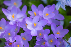 IMG_80 (schaffnerjoggl) Tags: frühling blüten bunt farben hermannshof schausichtungsgarten weinheim deutschland krokus