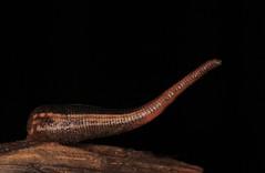 IMG_1078 (Roving_photographer) Tags: wretched blood sucking hirudinea leech terrestrial land bluemountains gnatbobdellida libbata sydney nsw australia