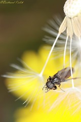 Flying to St Marco (bertrand kulik) Tags: fly nature mouche insecte pissenlit dandelion