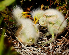 Great White Egrets, 11 Days Old (pbcbob2) Tags: great white egrets