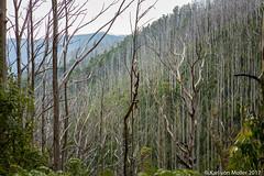 Lake Mountain: Vertical contrast (Karl von Moller) Tags: lakemountain victoria australia forrest burnttrees vista mountains autumn landscape vast