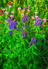 Monkshood Close-up (William Horton Photography) Tags: clearlake clearlakeroad fs815 monkshood queenscrown rosecrown sedum stonecrop wildflower wildflowers durango colorado unitedstates us