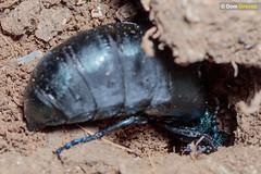 Oil beetle burrow II (Dom Greves) Tags: april behaviour calcareousgrassland dorset excavation female grassland insect invertebrate meloeproscarabaeus nestburrow oilbeetle spring uk wildlife