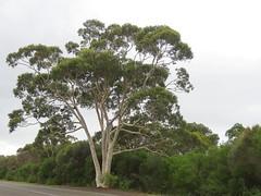 Eucalyptus racemosa 10 (barryaceae) Tags: booderee national park jervis bay nsw australia