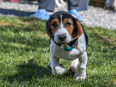 IMG_8220 (BFDfoster_dad) Tags: basset hound puppy