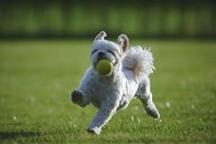 Dog-8732 (EB_Creation) Tags: nikon nikond7100 playing dog ball yellow white shih shihtzucentral shihtzu outdoor outside outdoors amazing amateur tamron
