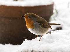 robin in snow2 (1 of 1)