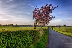 Cheshire cherry blossom (katatomicuk) Tags: 234365 gawsworth northrode cheshire spring cherryblossom countryside uk