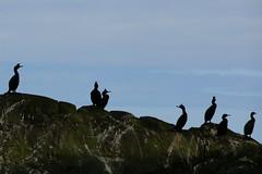 Line-Up (Tina-Pina) Tags: shags wildlife scarba argyll scotland birds