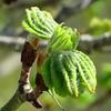 IMG_4880 (marinetteromico) Tags: bourgeon verdure feuilles printemps branche marronnier