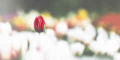 and then our eyes met (rockinmonique) Tags: tulips flower bloom blossom petal red yellow white muttart bokeh sping colour colourful moniquew canon canont6s tamron copyright2017moniquew