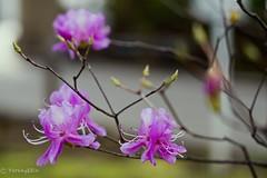 Rhododendron dilatatum (Yorkey&Rin) Tags: 2017 4月 april em5 flower japan kanagawa macro olympus olympusm60mmf28macro rhododendrondilatatum rin spring u4025273 yokohama yokohamayamate ミツバツツジ 横浜市 山手西洋館 春 神奈川県