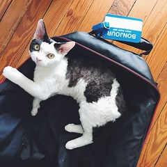 all packed (mennyj) Tags: cat devon rex sheriff moonpie kitty kitten texrex luggage suitcase bonjour tag meo bonvoyage mobile iphone iphone7plus