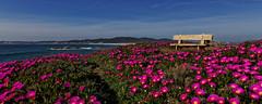 Printemps en Galice, belle province d'Espagne... (B. Coudray... Hte Savoie et Loire-Atlantique...) Tags: galice espagne fleurs océan atlantique