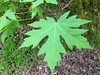 Which Maple?  (Silver Maple!) (Melinda Young Stuart) Tags: leaf tree maple acer silvermaple acersaccharinum greenleaf spring sapling ucb trees planted creek strawberrycreek ucberkeley uc berkeley ca wetfeet creekside