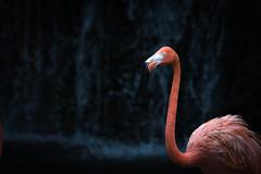 Flamingo, Jurong Bird Park, Singapore (_paVan_) Tags: jurongbirdpark jurong singapore sanctuary birds birdpark birdsanctuary flamingo