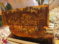New brood, drape of comb, Beeco Bee Co. (Travel writer at KristineKStevens.com) Tags: beekeeping beecobeeco brood comb