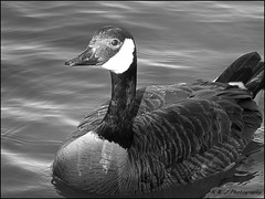 """"""" I'm Here for My Close-Up ! """" (KLF & JRN) Tags: kjphotography canadageese canada goose geese water wildlife nature blackwhite feathers canadagoose ontario outdoor brantford bird birds"""
