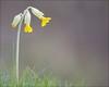 Spring: cowslip (kimbenson45) Tags: noarhill primulaveris closeup cowslip differentialfocus flower grass green nature outdoors petals plant shallowdepthoffield yellow appicoftheweek