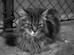 Ritratto... (@oloarge) Tags: gatto cat ritratto portrait biancoenero bw